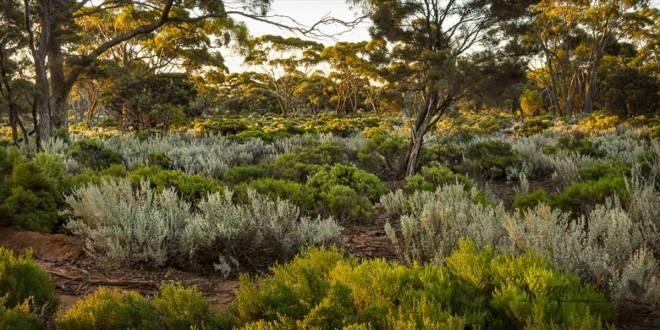 Great Western Woodlands | image © Jennie Stock